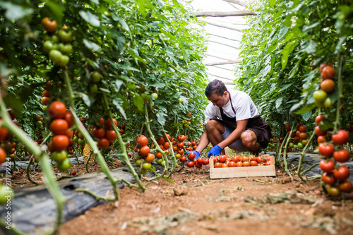 Fotografie, Obraz Male farmer picking fresh tomatoes in box from his hothouse garden