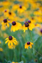 Bee On Yellow Conflowers