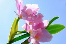 Cattleya Violet Yellow Orchid Flower In Bloom In Spring Glamorous Orchid Cattleya Labiata