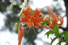 Orange Tiger Lily Flower In A Garden