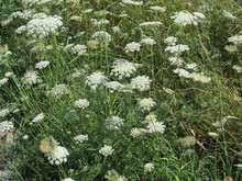 Daucus Carota, Also Known As Queen Anne's Lace, Wild Carrot, Bird's Nest, Or Bishop's Lace Growing In A Field