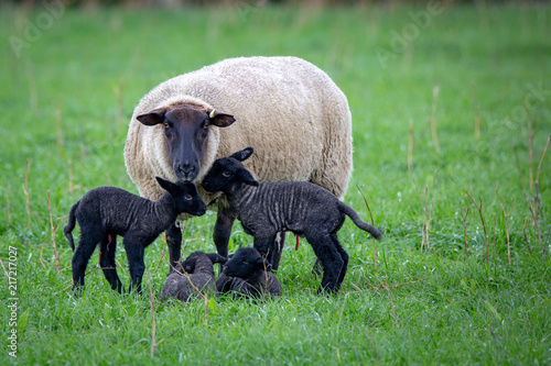 Fotografía A suffolk ewe has just given birth to four black lambs in a grassy field