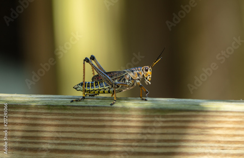 Fotomural adult locust has landed on your deck