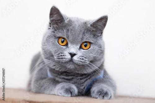 Fotografía  British shorthair cat portrait, beautiful kitty sitting and looking