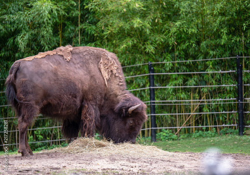 Foto op Canvas Bison American bison Bison bison feeding on hay in a zoo exhibit