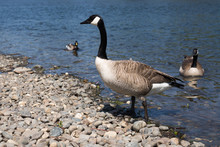 Gray Canada Goose On Shoreline