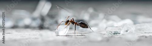 Closeup Macro of Ant picking up a sugar cube Canvas Print