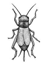 Black Field Cricket Illustrati...