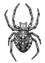 European Garden Spider Illustration, Drawing, Engraving, Ink, Line Art, Vector