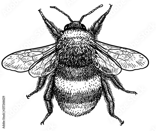 Slika na platnu Bumblebee (bombus terrestris) illustration, drawing, engraving, ink, line art, v