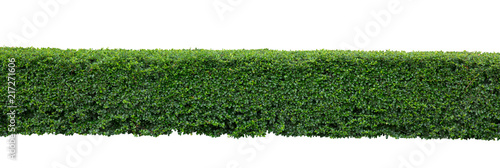 Foto  Green hedge or Green Leaves Wall on isolated,Objects with Clipping Paths