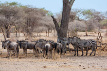 Gnu And Zebras Under The Tree,...