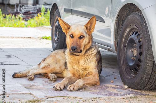 Fotografie, Obraz  The German Shepherd lying near the car