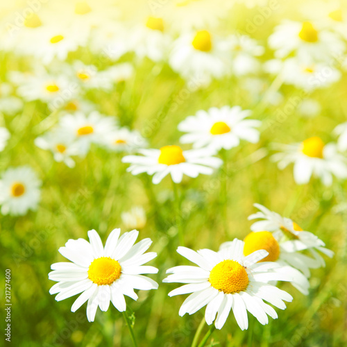 Foto op Canvas Madeliefjes Daisy flowers field