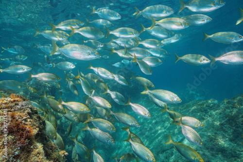 Underwater a school of fish in the Mediterranean sea (dreamfish, Sarpa salpa), Balearic islands, Formentera, Spain