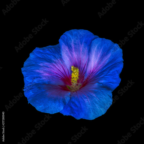 Spoed Fotobehang Pansies Floral bright color macro flower image of a single isolated blooming open blue red hibiscus blossom with detailed texture on black background in surrealistic painting style