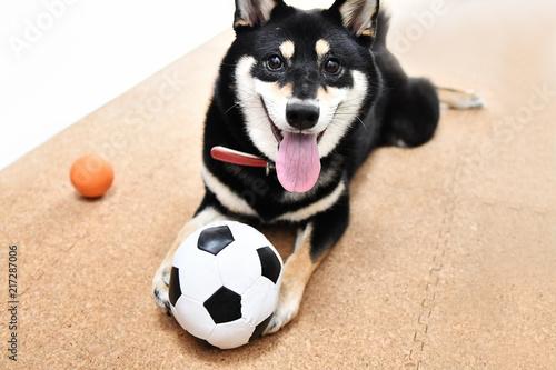 Fotografia, Obraz 黒い柴犬