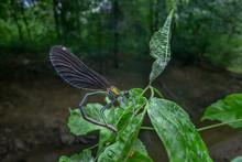 Damselfly, Beautiful Demoiselle - Calopteryx Virgo)
