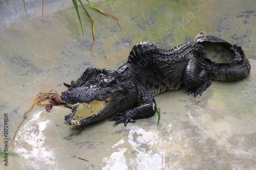 Foto op Plexiglas Krokodil Disabled crocodile