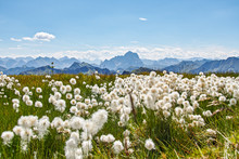 Cotton Grass Alps Austria