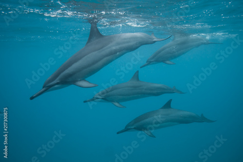 Tuinposter Dolfijn Swimming with a pod of dolphins in beautiful blue tropical water