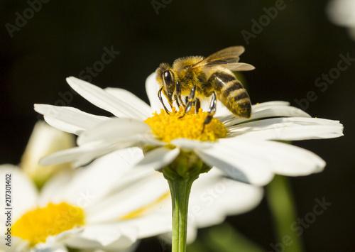 pszczoła na kwiatku-zbiór pyłku - fototapety na wymiar