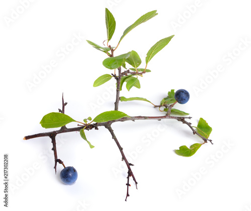 Photo  Prunus spinosa or blackthorn, or sloe. Isolated twig with fruit