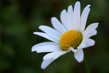 Macro Shot of white daisy flower in sunset light.