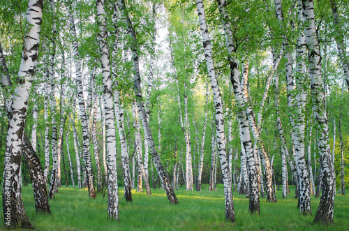 birch grove in spring, horizontal composition