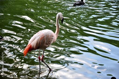 Foto op Aluminium Flamingo American Flamingo (Phoenicopterus) standing in the lake at the garden in zoo park, close up, selective focus