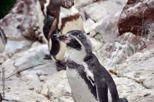 Peruvian Penguin (Spheniscus humboldti) standing on a rock at Zoo. The penguin is black and white. Another two brown and white are in background. Selective focus. Front side portrait