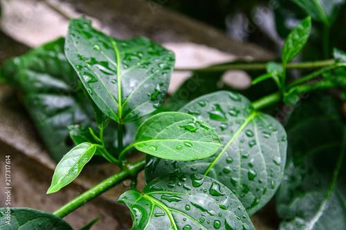 Autocollant pour porte Condiment Gumnema inodorum (Lour.) Decne., Drug treatment for diabetes