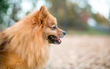Profile Of A Red Pomeranian Do...