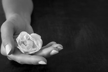 Woman's Hand Holding Fresh, White Rose On The Dark Background. Condolence Card. Empty Place For Emotional, Sentimental Text Or Quote. Black And White Photography.