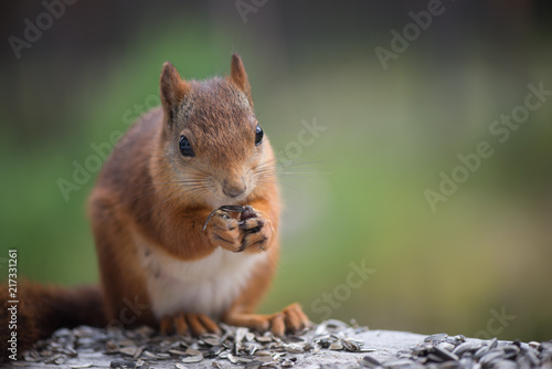 Foto op Canvas Eekhoorn Squirrel3
