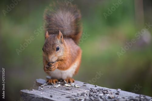 Foto op Canvas Eekhoorn Squirrel2