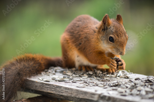 Foto op Canvas Eekhoorn Squirrel1