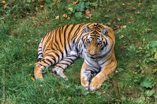 Fotografie, Obraz  Amur Tiger in a forest of Canada