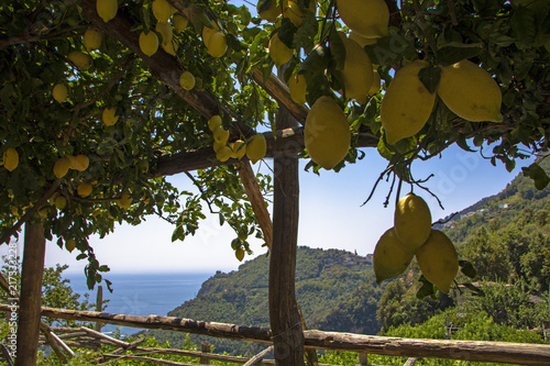 amalfi lemon trees