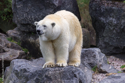 Tuinposter Ijsbeer Polar bear in the north of Canada