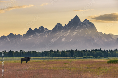 Cuadros en Lienzo Bison with the Grand Tetons at sunset