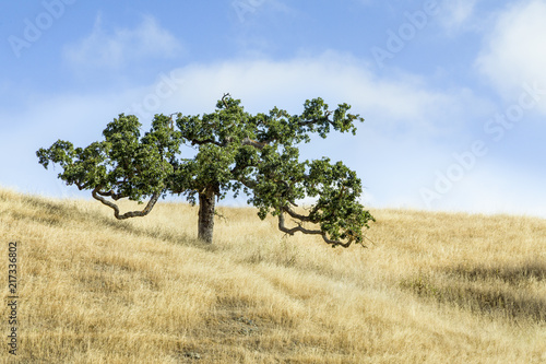 Meandering Tree and Golden Grass - Marin County, California
