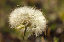Big Beautiful Dandelion Closeup