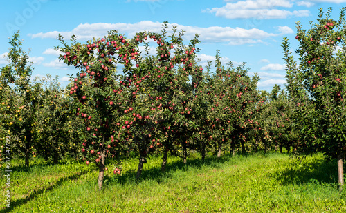 Tablou Canvas apple orchard on a sunny day