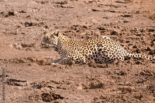 Tuinposter Luipaard Leopard lying in the dry riverbed drinking from seeping water pools