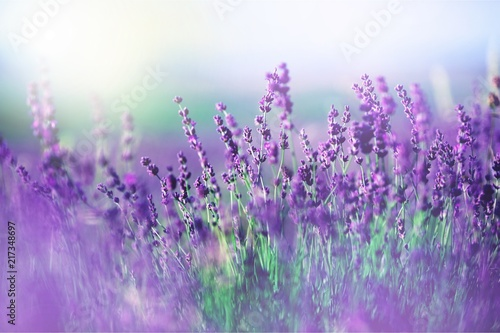 Beautiful violet lavender field #217348697