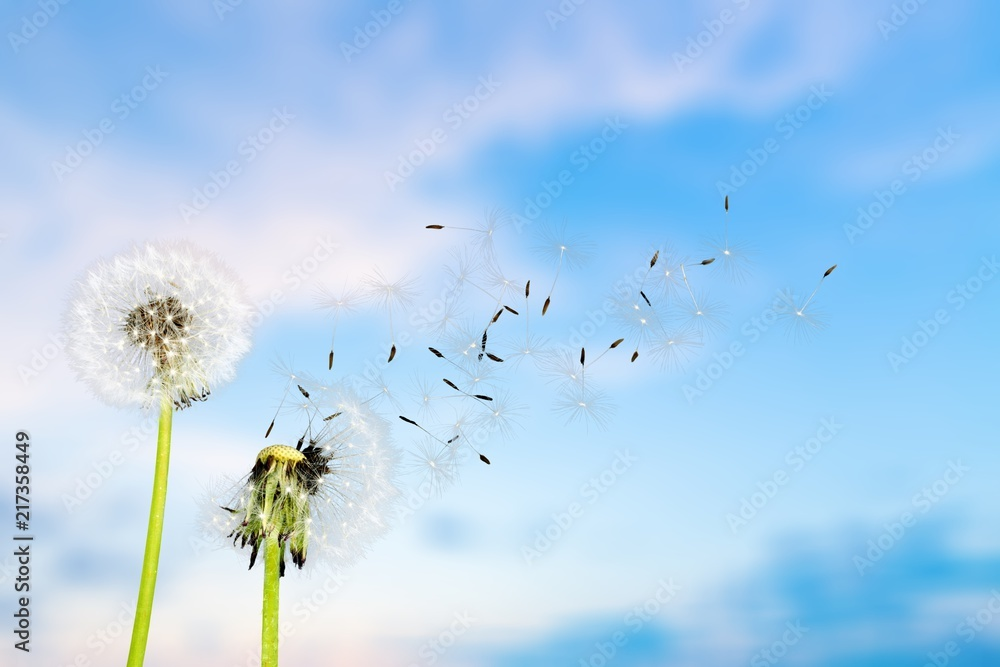 Fototapety, obrazy: Close up of grown dandelions and dandelion