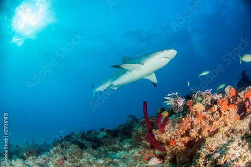 Wall Murals Diving Caribbean reef shark at the Bahamas