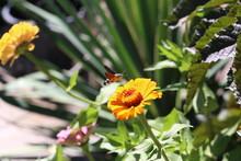 Hummingbird Hawk-moth / Butterfly Sits On A Flower