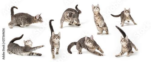 Obraz Playful Cute Gray Kitten in Different Positions - fototapety do salonu